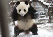 La danse d'un panda dans la neige