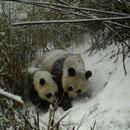 Une femelle panda géant et son petit pris en photo dans le nord-ouest de la Chine