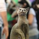Ouverture d'un concours de beauté de chats à Bucarest