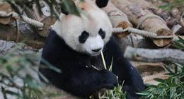 Les deux pandas géants Haibang et Xingbao qui sont rentrés, pour le premier du Japon, et pour le second d'Espagne, ont rencontré dimanche les visiteurs du parc Qianlingshan de Guiyang.
