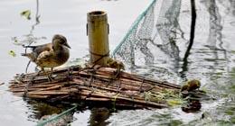Peu après sa naissance, le canard mandarin doit régulièrement se rendre dans la mare aux lotus en quête de nourriture.