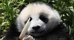Des pandas géants vivant dans la base de protection de Shenshuping, située dans la réserve naturelle nationale de Wolong, dans la province du Sichuan (sud-ouest de la Chine), le 16 mai 2018.